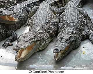 Crocodile 000596 - A bunch of crocodiles in a zoo in...