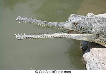 crocodile 9