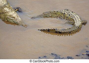 Crocodile at the riverbank - Crocodile resting at the ...