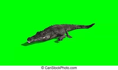 crocodile, attak, ombre