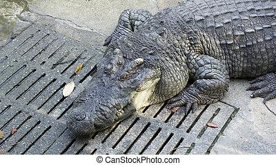 crocodile bite animal jaw teeth water concept