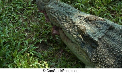 Crocodile Chewing On Piece Of Fish - Handheld, above angle,...
