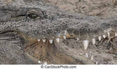 Crocodile cooling itself with open jaws - Close-up shot of...