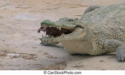 Crocodile eating its prey - Crocodile feeding, Large...