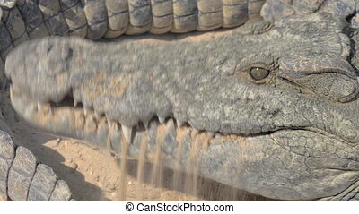 Crocodile eating meat. Head view with mighty jaws - Close-up...