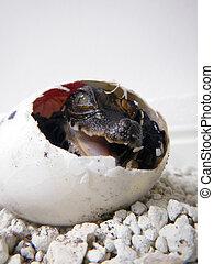 Crocodile egg - African dwarf crocodile (Osteolaemus...