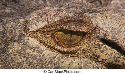 Crocodile Eye Sliver - Steady, extreme close up shot of a...