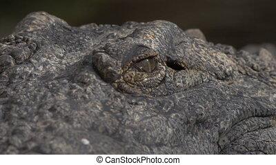 Crocodile eyes and jaws - Close-up shot of crocodile head....