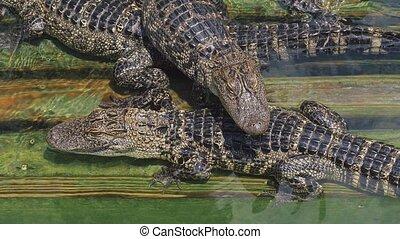 Crocodile farm lots of aligators angry background -...