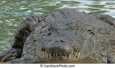 Crocodile finishing eating prey - Close-up shot of a large...