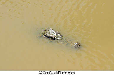 Crocodile floating in the water view from the top
