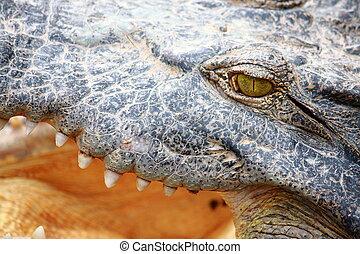 crocodile gape - close up eye crocodile gape