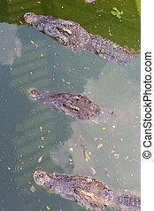 Crocodile head floating in water
