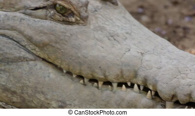 Crocodile Hissing and Lunging - Handheld, medium close up...