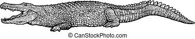 Crocodile illustration, drawing, engraving, ink, line art,...