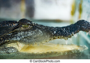 crocodile in a tank with the mouth opened