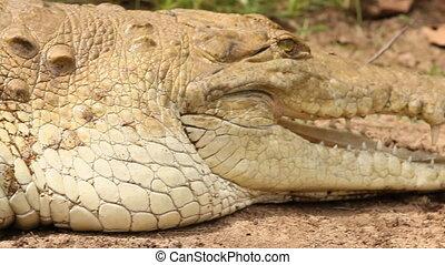 Crocodile in Grass - Handheld, close up shot of a crocodile...