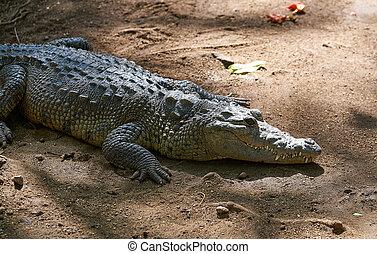 Crocodile in Mexico Riviera Maya on soil