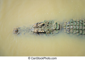 Crocodile in the water lake