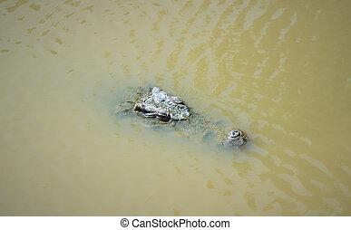 Crocodile in the water lake, Thailand