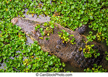 Crocodile in water between plants - Crocodile swimming in...