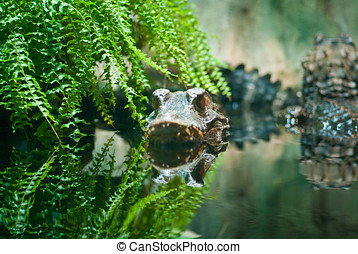 Crocodile In Water - Crocodile lurking in water in captivity
