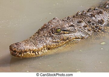 Crocodile in Water - Crocodile with green eyes swimming in...