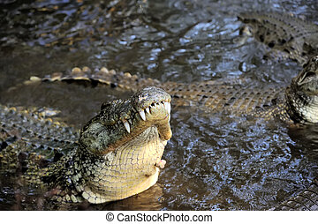 Crocodile in water. Kenya, Afrca - Close-up large crocodile...