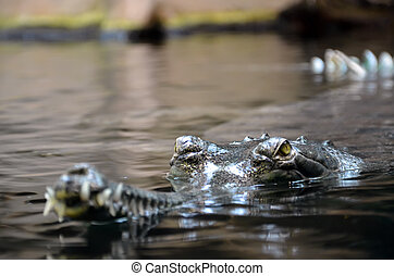 crocodile in water photo