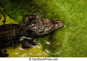 Crocodile in water - The rest of the crocodile in water,...