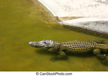 Crocodile in water with copyspace