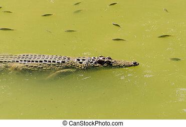 crocodile in wetland pond
