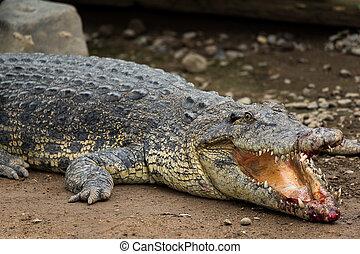 crocodile, injuried, obtenir