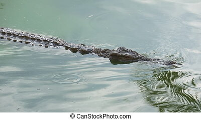 Crocodile is swimming and watching its prey - Swimming...