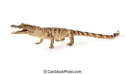 Crocodile isolated on a white background