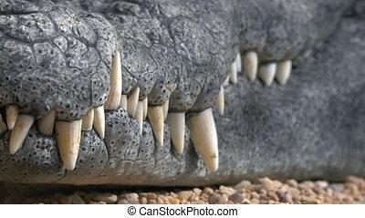 Crocodile jaws with big teeth - Close-up shot of crocodile...