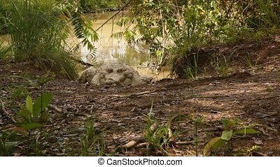 Crocodile Laying on Swamp Bank - Handheld, medium wide shot...