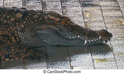 Crocodile lies near the pool. Thailand
