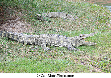 Crocodile lying on grass in the zoo