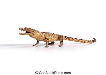 Crocodile on a white background