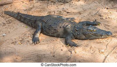 crocodile on sand in the nature