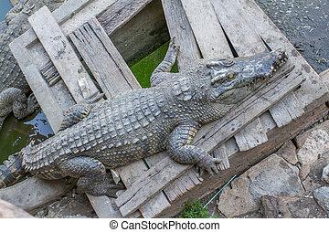 crocodile on the floor