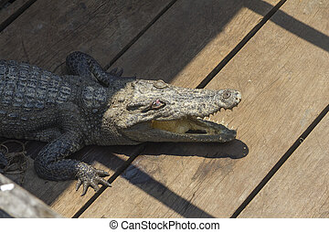 Crocodile on the floor with mouth open