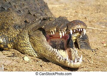 Crocodile open mouth - Crocodile on Zambezi Africa river...