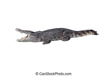 Crocodile open mouth stay rest on white background.