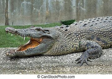 crocodile, ouvrez bouche