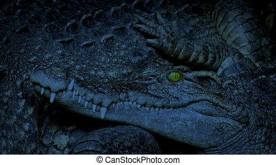 Crocodile Resting Next To Mother In The Evening
