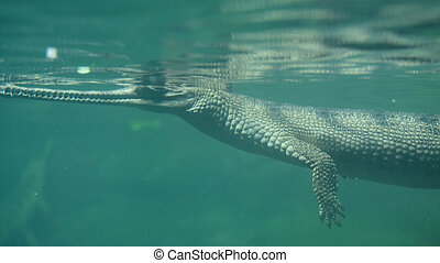 Crocodile Swimming Under the Water