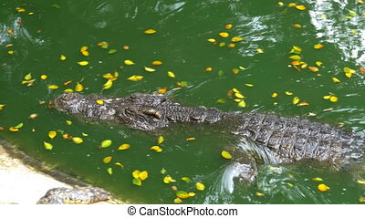 Crocodile Swims in the Green Marshy Water. Muddy Swampy...