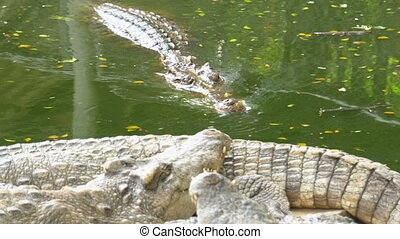 Crocodile Swims in the Green Marshy Water. Muddy Swampy River. Thailand. Asia